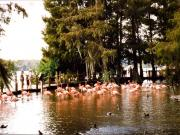 Discovery Island : les flamands roses (1)