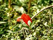 Discovery Island : un oiseau scarlet ibis