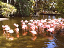 Discovery Island : les flamands roses (2)